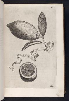 Image of 193 Illustration of LIMON VULGARIS