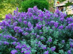 Texas Sage...needs lots of sunlight.  Advantages are it is drought resistant and hardy. The flowers are lovely and the leaves are a powdery light green.