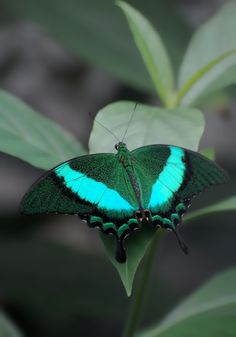 Papilio palinurus -=- Exquisite Example of the Gorgeous Gifts We Have Found in Nature !!