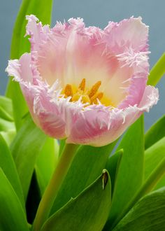 ~~Pink Fringed Tulip by pabs777~~