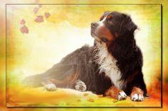 Herbst 2015 - mein Berner Sennenhund Urax