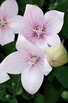 "BALLOON FLOWER  Astra Pink  Platycodon 'Astra Pink'  Height:	8-12""  Spread:	8-12""  Flowers:	Light pink; balloon-like buds open to bell-shaped flowers  Blooms:	4-6 weeks, starting July  Zone:	3-8  Soil:	Does well in most conditions  Additional Information:  Excellent border or rock garden plant! Deadhead to produce more blooms. Try planting with Dianthus, Lavender and Coreopsis. long tap root makes them difficult to divide or move. When you plant them, try to make this a permanent home."