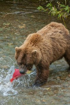 A mother Brown Bear catches a spawning sockeye salmon at Katmai National Park, Alaska