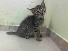 SAFE! TO BE DESTROYED 9/23/14 ** BABY ALERT! ONLY 7 WEEKS OLD! ALLOWS HANDLING, NO SIGN OF AGGRESSION AND VERY SWEET EATING WELL ON ITS OWN VERY GOOD APETITE ** ALLOWS HANDLING, NO SIGN OF AGGRESSION AND VERY SWEET EATING WELL ON ITS OWN VERY GOOD APPETITE** Brooklyn Center  My name is NORTH. My Animal ID # is A1014789. I am a male brn tabby and white domestic sh mix. The shelter thinks I am about 7 WEEKS old.  OWNER SUR on 09/21/2014 from NY 11209, NO TIME. Group/Litter #K14-195054.