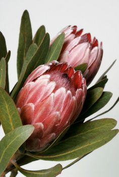 Beautiful vector image with nice watercolor tropical flower protea. Free art print of Watercolor tropical flower protea. Protea Art, Flor Protea, Protea Flower, Tropical Flowers, Pink Flowers, Estilo Floral, Ikebana, Australian Flowers, Images Of Colours