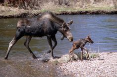 A mama moose helps her baby cross the Colorado River at Rocky Mountain National Park. Moose usually have one or two calves in early summer, and the babies stay with their mother for a year.