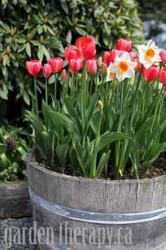 Half barrel planters with Spring Tulips!!  LOVE!