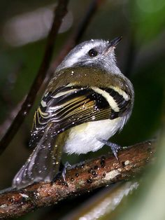 White-banded Tyrannulet (Mecocerculus stictopterus) is a member of the Tyrant Flycatcher family. It occurs in Bolivia/ Colombia/ Ecuador/ Peru/ Venezuela.