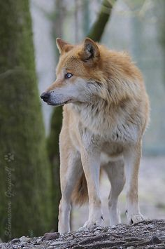 Inspiration for Alisia's wolf.