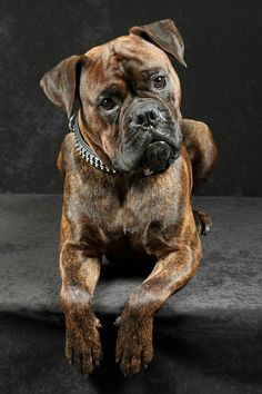 Gorgeous picture of a brindle boxer!