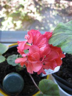 Brookside Tango Tango, Plants, Plant, Planets