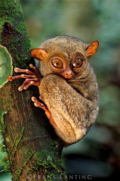 Western tarsier, Tarsius bancanus, Sabah, Borneo (looks like a cross between a frog and a monkey)