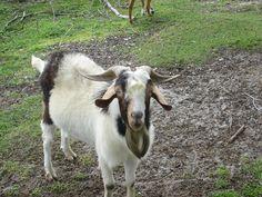 Økologisk dansk gedeost hitter Goats, Cow, Animals, Animales, Animaux, Goat, Animal, Animais