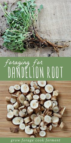 Most beginning herbalists know the benefits and properties of dandelion leaves, but dandelion root is incredibly useful too! Fall is the best time of year to forage and wildcraft for medicinal roots. Dandelion root is easy to identify and harvest, and has Healing Herbs, Medicinal Plants, Dandelion Recipes, Dandelion Leaves, Dandelions, Dandelion Uses, Dandelion Plant, Dandelion Leaf Benefits, Dandelion Root Tea