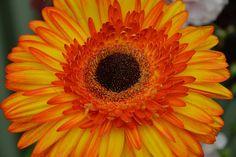 Gerbera | 129th Shrewsbury Flower Show | Seventh Heaven Photography | Flickr
