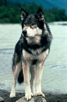 Everyone has a dream. For example, taming a wolf by feeding it beef jerky. (White Fang)