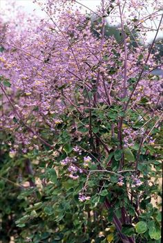 Thalictrum rochebrunianum 'Lavender Mist' This one has been on my list long enough!