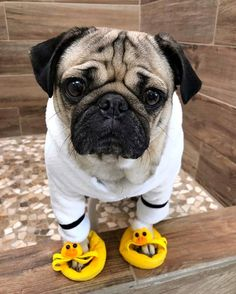Pug Puppies for sale - Sweet Pugs Pug Puppies For Sale, Cute Dogs And Puppies, Doggies, Baby Pugs For Sale, Black Pug Puppies, Cute Funny Animals, Cute Baby Animals, Jungle Animals, Doug The Pug