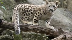 Snow leopard cub steps into limelight at Bronx Zoo - CBS News