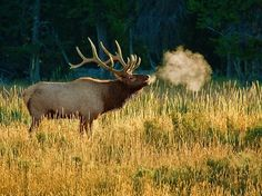 The peak of the elk mating season has arrived and Parks Canada wildlife officials are warning people to be as vigilant as ever when encountering the animals. The season, known as the elk rut, can be a dangerous time as male elk are far more aggressive. Be cautious!