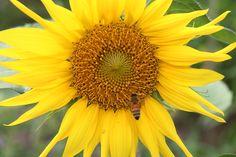 도심 속 도시텃밭 문래공공용지의 해바라기와 꿀벌