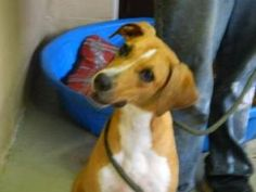 Olivia is an adoptable Whippet Dog in Hollister, FL. ...