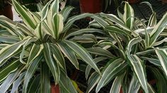 In the late '80s, NASA and the Associated Landscape Contractors of America studied houseplants as a way to purify the air in space facilities. They found several plants that filter out common volatile organic compounds (VOCs).