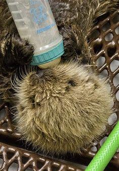 Meshik, the Sea Otter Pup
