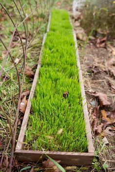 grow flats of wheat grass for chickens in the winter