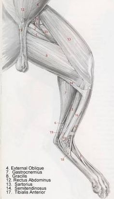 「anatomy animal leg」の画像検索結果