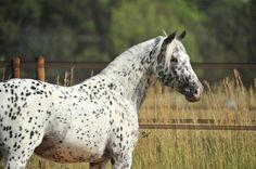 Knabstrupper (Sport type) stallion Moenchshof's Ratz-Fatz