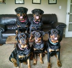Wonder how long these Rotties sat like this for?