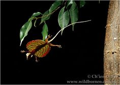 Draco obscurus. Flying Lizard. This one is from Sarawak, Malaysia