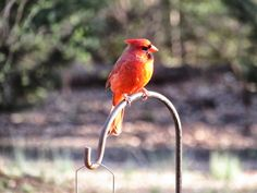 Red bird at the feeder