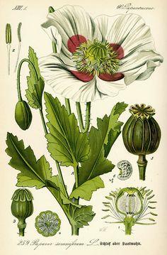 Otto Wilhelm Thomé, illustration of opium poppy Papaver somniferum, 1885.