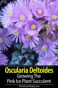 Oscularia deltoides, pink ice plant, is a succulent providing interesting year-round colors with flowers spring and summer. [GROWING AND CARE] Growing Flowers, Growing Plants, Planting Flowers, Snapdragon Flowers, Flowers Perennials, Succulent Gardening, Garden Plants, Succulent Wall, Flower Gardening