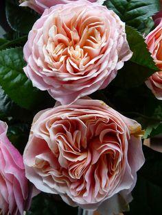 Bouquet de roses pivoines http://www.pariscotejardin.fr/2013/04/bouquet-de-roses-pivoines/