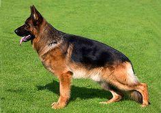 Tysk schäferhund, normalhårig