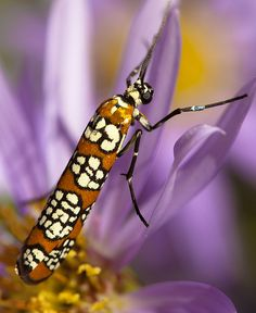 ailanthus webworm moth (with closed wings)