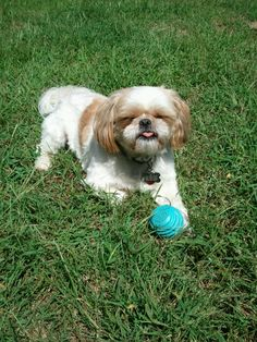 Lucky, our rescue shih tzu