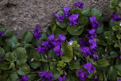 The flowery Keith posted a photo:  Violetta / Violet
