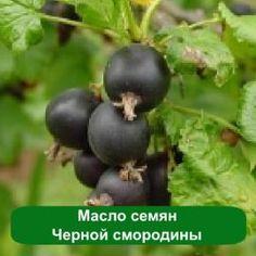 Масло Черной смородины в косметике. Применение и свойства масла черной смородины в косметических средствах.