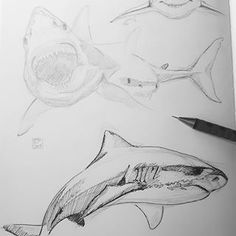 Shark   @racingextinction  #forcellini #london #graphicdesign #illustration #idea #sardinia #sardegna #cool #bestoftheday #happy #followme #surf #summer #love #tattoo #nature #animals #art #creative #istaart #concept #drawing #graphic #artwork #artist #sketch #sketchoftheday #comi #shark #racingextinction
