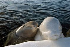 Awww mama and baby beluga.