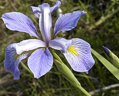 "Virginia Iris (iris virginica): Iris virginica, with the common name Virginia iris, is a perennial species of flowering plant, native to eastern North America.  It is common along the coastal plain from Florida to Georgia in the Southeastern United States.   It is one of the three Iris species in the Iris flower data set outlined by Ronald Fisher in his 1936 paper ""The use of multiple measurements in taxonomic problems"" as an example of linear discriminant analysis…"