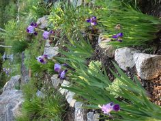 Rock Garden with first Iris blooms with Sedum, Day Lily & Liatris