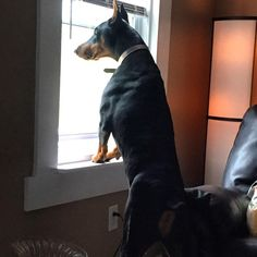 Dobermans always on watch !