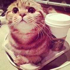 #Cats  #Cat  #Kittens  #Kitten  #Kitty  #Pets  #Pet  #Meow  #Moe  #CuteCats  #CuteCat #CuteKittens #CuteKitten #MeowMoe      Latest Starbucks hit - coffee and kitty to go ...   https://www.meowmoe.com/56990/