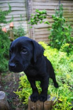 Black Labrador Puppy http://www.thepetmedicinecompany.co.uk/