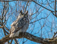 Great Horned Owl by Steve Dunsford on 500px